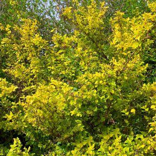 Physocarpus 'Dart's Gold' Image