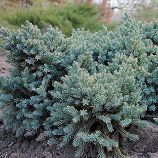 Juniperus 'Blue Star' Image