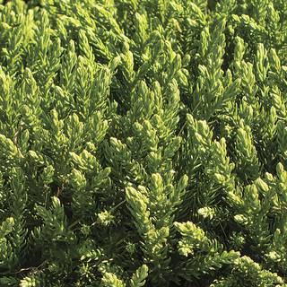 Cryptomeria Dragon Prince™ Image