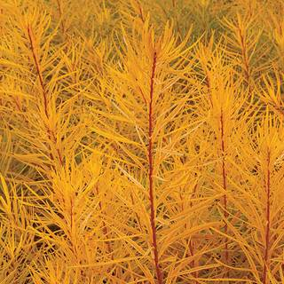 Amsonia 'Butterscotch' Image