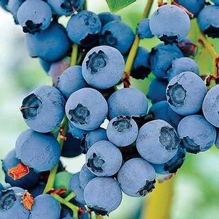 Vaccinium 'Razz' Blueberry Image