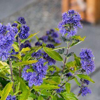 Caryopteris Beekeeper™ Image