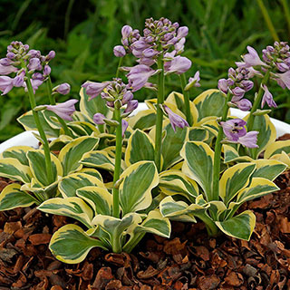 Hosta 'Lucky Mouse' Image