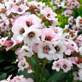 Bergenia Dragonfly™ 'Angel Kiss' Image