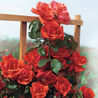 'Blaze of Glory' Climbing Rose