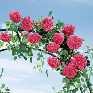 High Society™ Climbing Rose