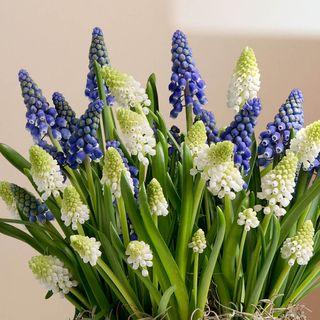 Muscari Delight Bulb Garden Image