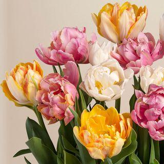 Tulip Triumph Bulb Garden Image