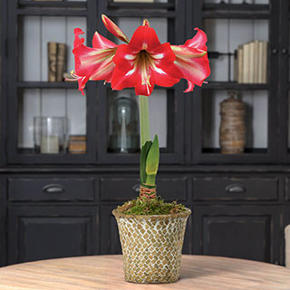 Single Hot Lips Amaryllis Image