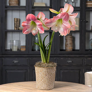 Single Candy Floss Amaryllis Image