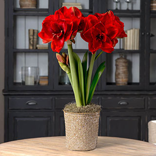 Single Ragtime Amaryllis Image