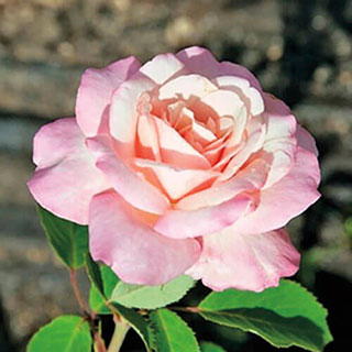Belinda's Blush™ Shrub Rose Image