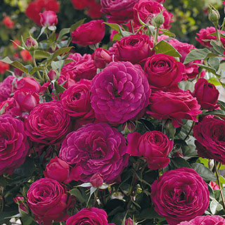 Celestial Nights™ Floribunda Rose Image