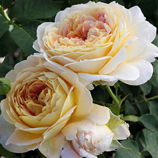 Fun in the Sun™ Grandiflora Rose Image