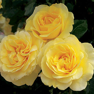 Happy Go Lucky™ Grandiflora Rose Image