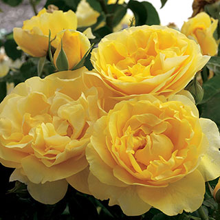 Happy Go Lucky™ Grandiflora Rose Image