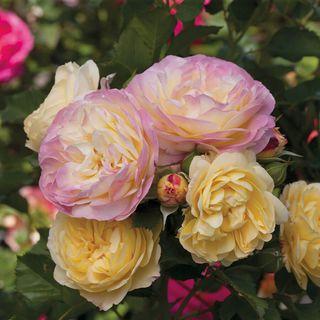 Life of the Party™ Floribunda Rose Image