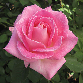Painted Porcelain™ Hybrid Tea Rose Image