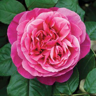 Dee-Lish® Hybrid Tea Rose Image