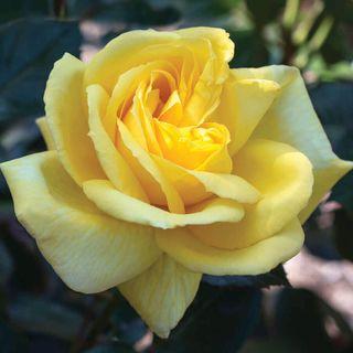 Eternal Flame™ Hybrid Tea Rose Image