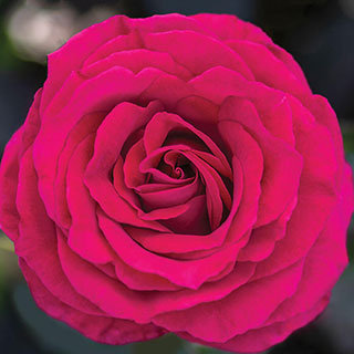 Stiletto™ Hybrid Tea Rose Image