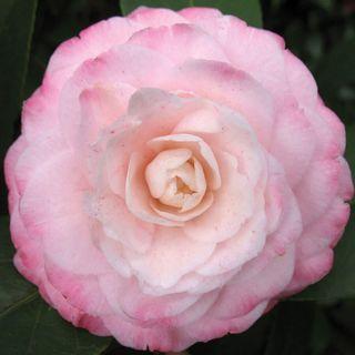 Camellia 'Grace Albritton' Image