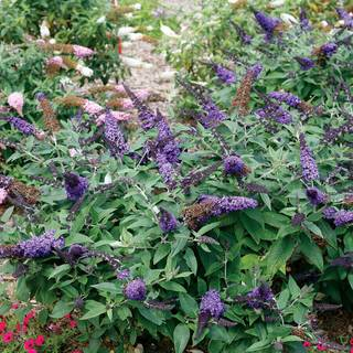 Buddleia Pugster Blue® Image