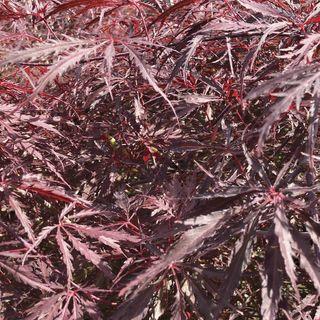 Acer 'Tamukeyama' Image