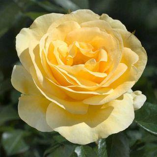 'Sunshine Daydream' Grandiflora Rose