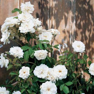 Lace Cascade Climbing Rose