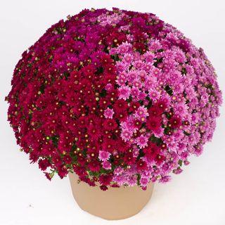 Blooming Block Wanda™ Fall Berry™ Mum Mix Image