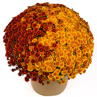 Blooming Block Beverly™ Copper Penny™ Mum Mix Image