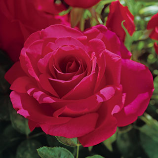 Voluptuous! Hybrid Tea Rose Image