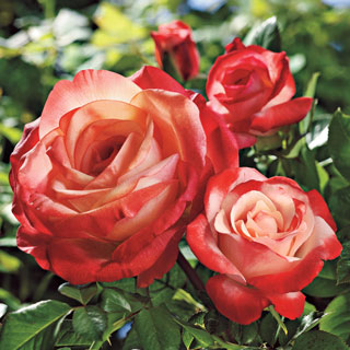 Sheer Magic™ Hybrid Tea Rose Image