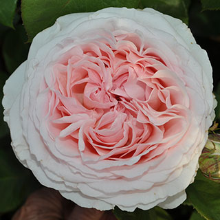Bliss Parfuma® Rose