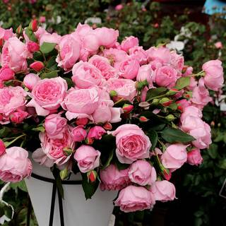 Kiss Me Kate Arborose® Climbing Rose