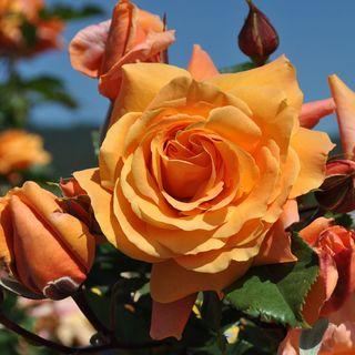 Tangerine Skies Arborose® Climbing Rose Image