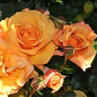 Tangerine Skies™ Climbing Rose