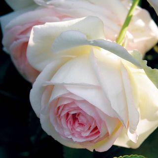 Eden® Climbing Rose Image