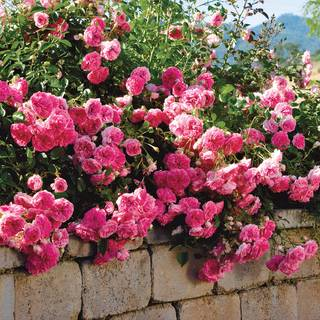 Petal Pushers™ Groundcover Rose