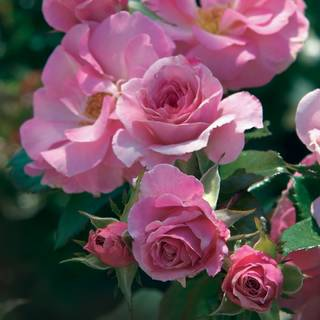 Kimberlina Floribunda Rose From Jackson Amp Perkins
