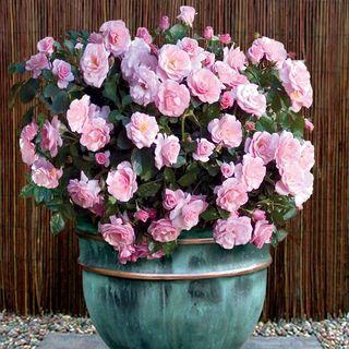 Kimberlina Floribunda Rose Image