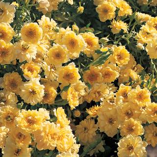 Yellow Ribbons Ground Cover Rose