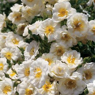 Blossom Blanket™ Groundcover Rose