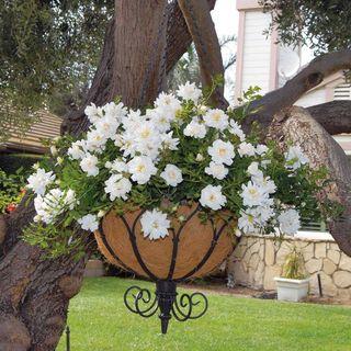 Blossom Blanket™ Groundcover Rose Image