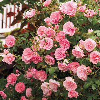 'The Fairy' Shrub Rose