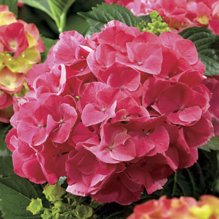 Next Generation® 'Red Sensation' Hydrangea