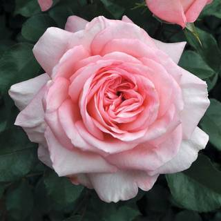 Savannah™ Sunbelt ® Hybrid Tea Rose