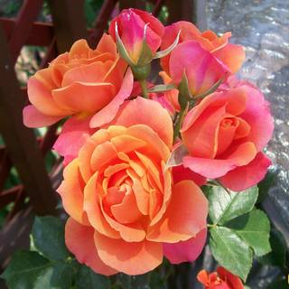 Disneyland Floribunda Rose Image