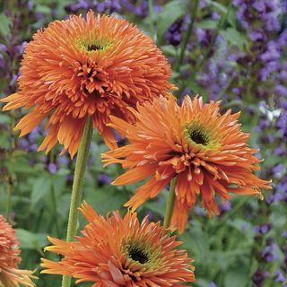 Echinacea Colorburst™ Orange